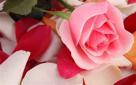 Pink Rose Beautiful Wallpapers | HD Wallpapers | ID #19254